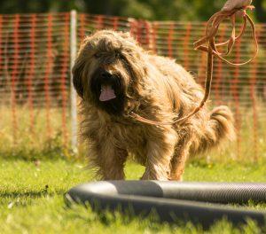 Der Hund am Longierkreis